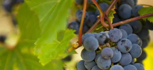blog-frontenac-grape